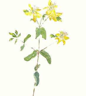 hypericum perfiolatum
