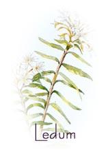 ledum palustris